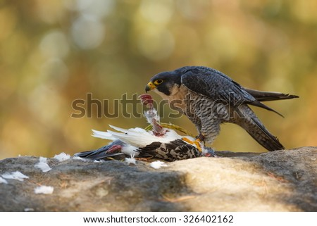 Peregrine falcon  with hunted a pigeon - stock photo
