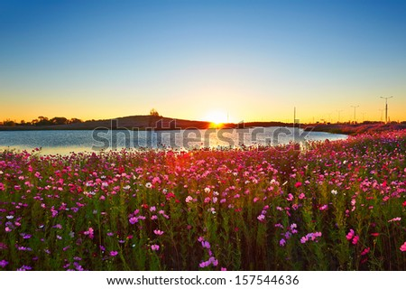 Perennial coreopsis sunrise.The photo taken in China's heilongjiang province Daqing city, Ranghulu district South 1 road nearby.There planting large areas of the cosmos bipinnatus. - stock photo