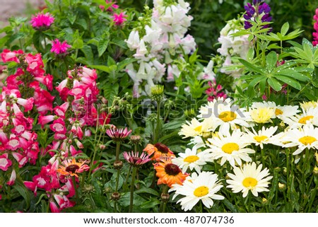 Perennial plants with many blossoms in the garden.