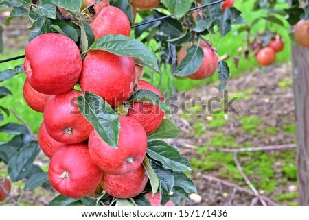 Perfect apple branch - stock photo