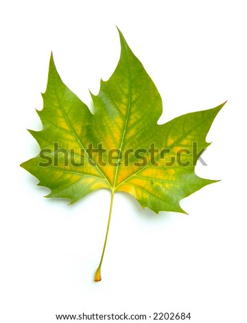 perfect autumn leaf isolated on white