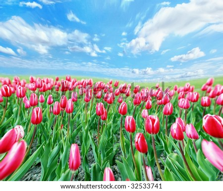 Perfect meadow of tulips with blue cloudy sky
