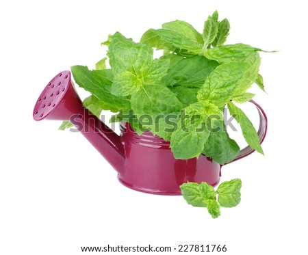 Perfect Raw Fresh Green Mint Leafs in Purple Watering Can isolated on white background - stock photo