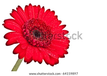 Perfect Red Gerber Daisy, completely isolated on white