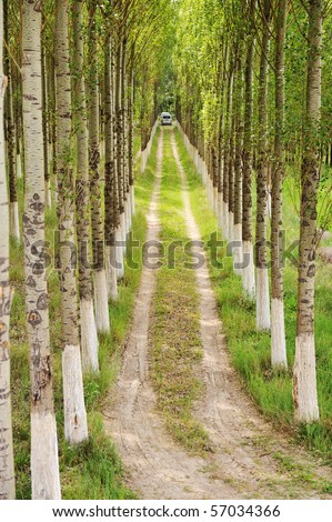 Perfect row, trees in nature and the way trough - stock photo