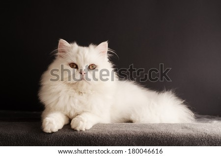 Perfect white cat - stock photo