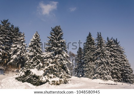 Perfect winter scene in snowy forest, tall pine trees covered with snow,