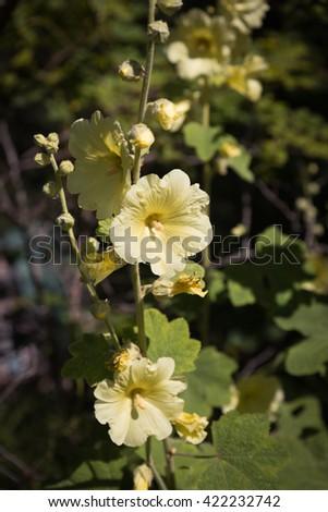 Perfect Yellow Hollyhocks (Althaea) - stock photo