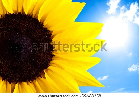 Perfectly grown sunflower in front of blue summer sky - stock photo
