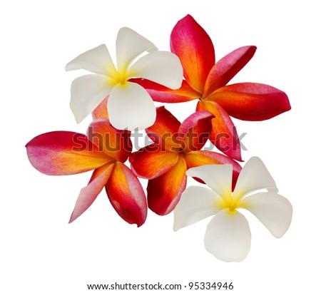 Perfume frangipani flowers over white - stock photo