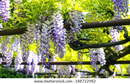 pergola with tendrils of Chinese Wisteria - stock photo