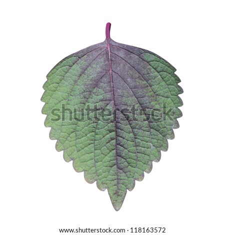 Perilla (Shiso) Leaf isolated on white - path included - stock photo