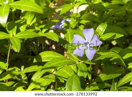 Periwinkle blue spring flower in the forest - stock photo