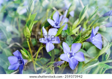 Periwinkle Vinca blue spring flowers in the garden - stock photo