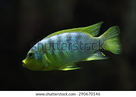 Perlmutt cichlid (Labidochromis sp. perlmutt). Wildlife animal.  - stock photo