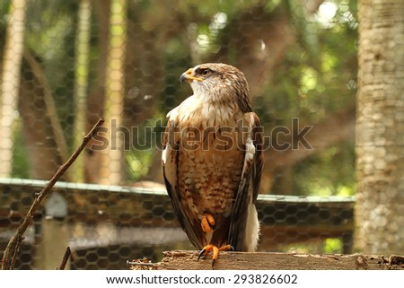 Permanently injured Ferruginous hawk stands proud on one foot in it's cage - stock photo