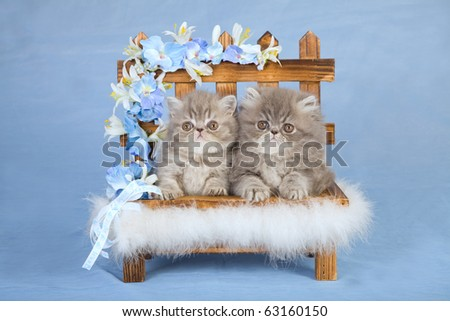 Persian and Exotic kittens on miniature bench with flowers - stock photo