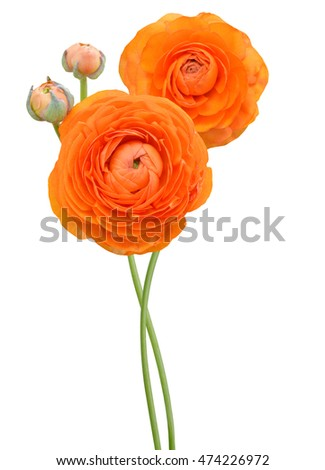 Persian buttercup flowers (ranunculus) branch, isolated white