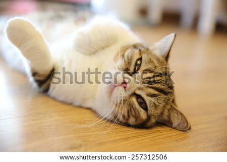 persian cat - stock photo
