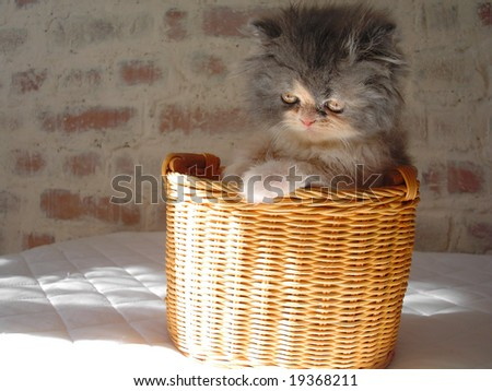 "persian cat ""Basilia"" in cane wicker basket"