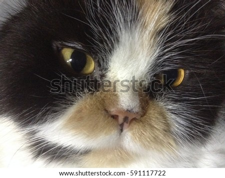 Persian Cat  calico Three colored. close up at head cute animal friends. beautiful cats