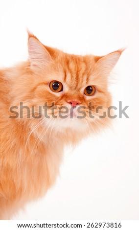 persian cat / fur cat / big eyes cat / orange cat / fur kitten /  long hair cat  - stock photo