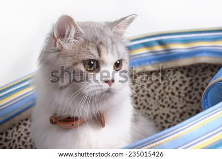 Persian cat in the bag - stock photo