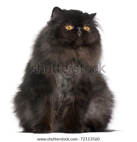 Persian cat, 9 months old, in front of white background - stock photo