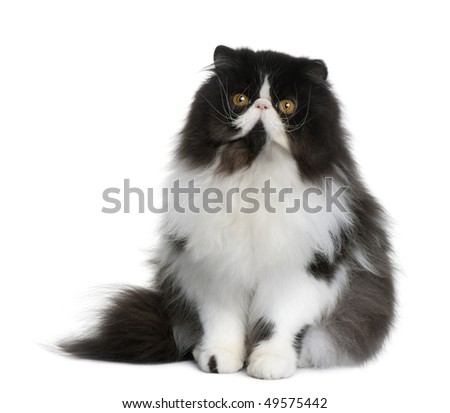 Persian cat, 9 months old, sitting in front of white background - stock photo