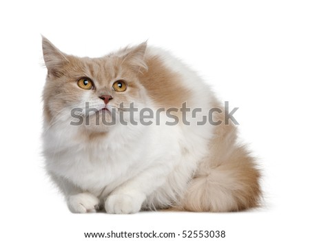 Persian cat, 11 months old, sitting in front of white background - stock photo