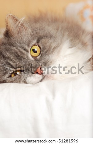 persian cat on bed