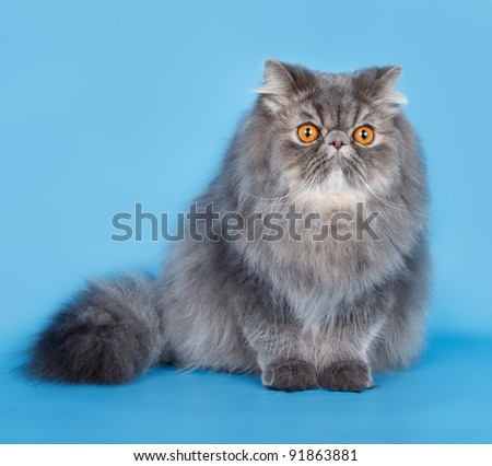 Persian cat on blue background - stock photo
