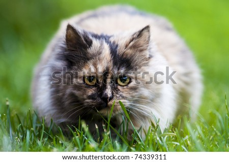 persian cat on the green field - stock photo