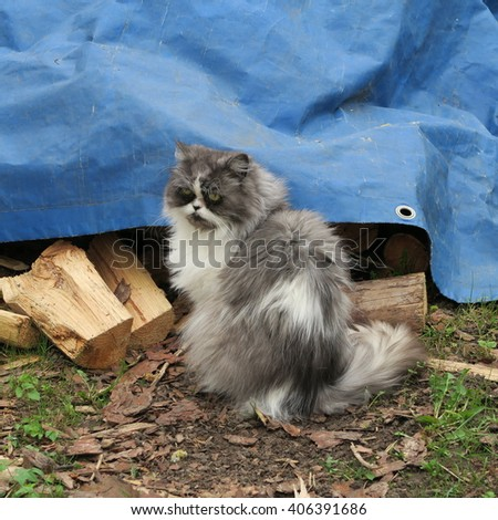 persian cat sitting in front of a blue plane and a woodpile on the farm - stock photo