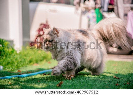 Persian cat walking, running and playing on grass tufted in the garden, A white persian cat running at home garden, fat Persian cat - stock photo