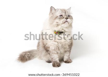 Persian Cat. white background - stock photo