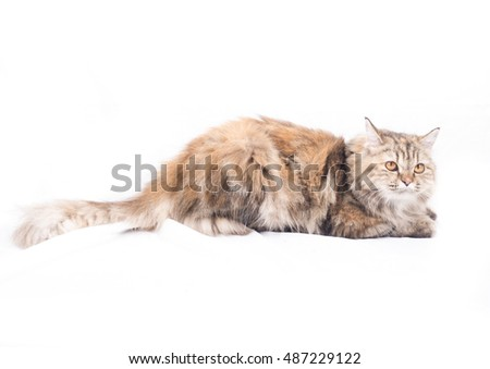 Persian cats white background