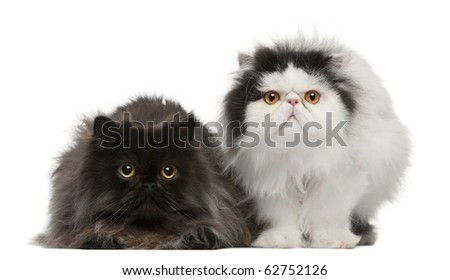 Persian cats, 2 years old, sitting in front of white background - stock photo