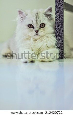 persian chinchilla kitten cat  lovely - stock photo