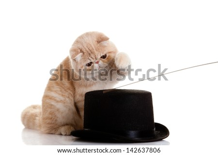 persian exotic kitten with black had - stock photo