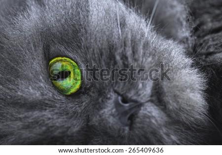 persian gray cat  - stock photo