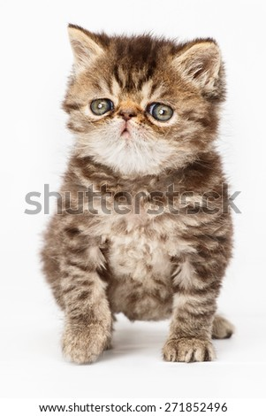 Persian kitten - stock photo