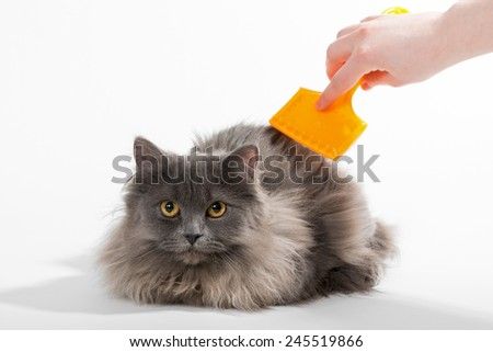 Persian kitten and a crest on a white background - stock photo