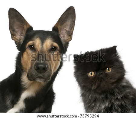 Persian kitten and a Mixed-breed dog in front of white background - stock photo