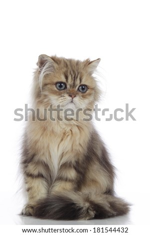 persian kitten isolated on white