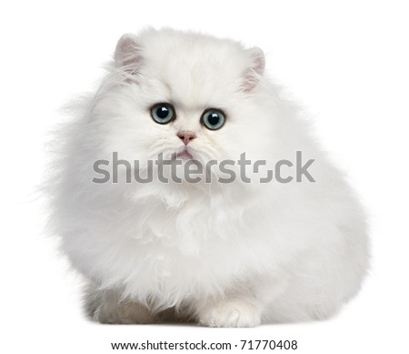 Persian kitten, 4 months old, in front of white background - stock photo