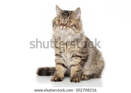 Persian kitten 3 months old. Portrait on a white background