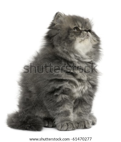 Persian kitten, 2 months old, sitting and looking up in front of white background - stock photo