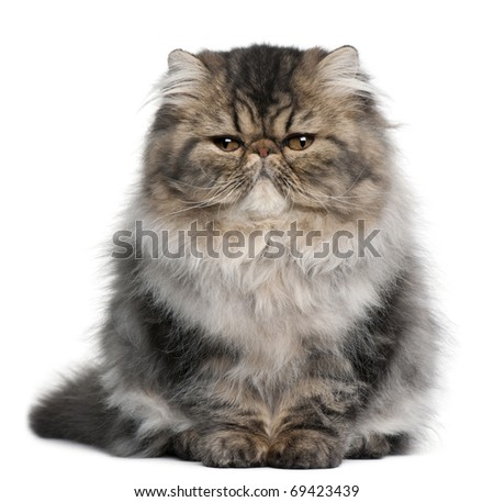 Persian kitten, 4 months old, sitting in front of white background - stock photo