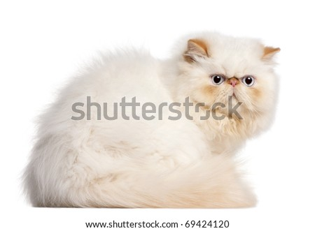 Persian kitten, 5 months old, sitting in front of white background - stock photo